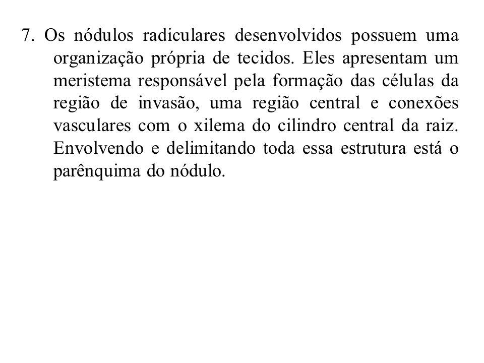 7. Os nódulos radiculares desenvolvidos possuem uma organização própria de tecidos.