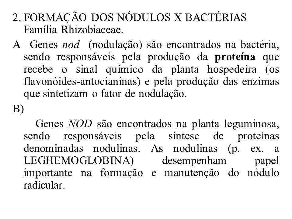 2. FORMAÇÃO DOS NÓDULOS X BACTÉRIAS Família Rhizobiaceae.