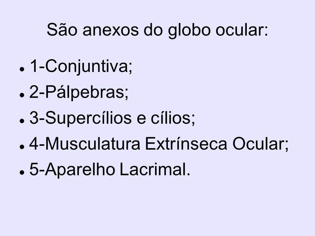 São anexos do globo ocular: