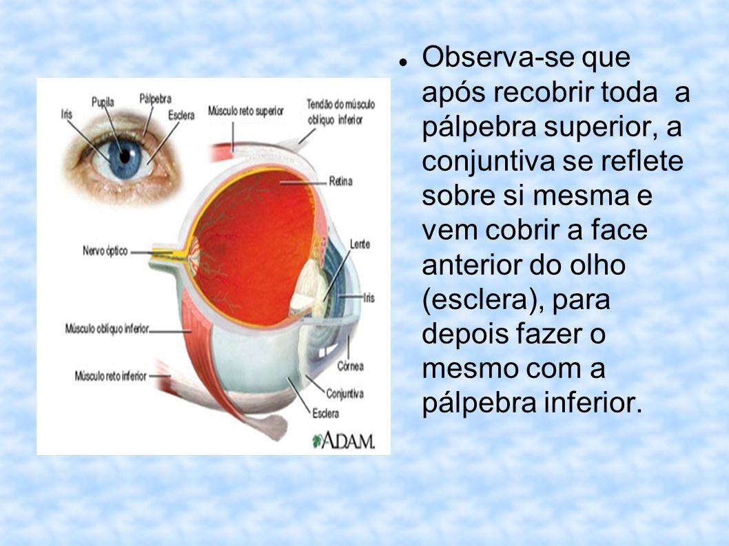 Observa-se que após recobrir toda a pálpebra superior, a conjuntiva se reflete sobre si mesma e vem cobrir a face anterior do olho (esclera), para depois fazer o mesmo com a pálpebra inferior.