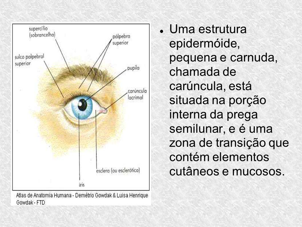Uma estrutura epidermóide, pequena e carnuda, chamada de carúncula, está situada na porção interna da prega semilunar, e é uma zona de transição que contém elementos cutâneos e mucosos.