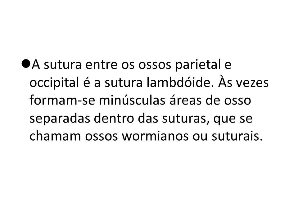 A sutura entre os ossos parietal e occipital é a sutura lambdóide