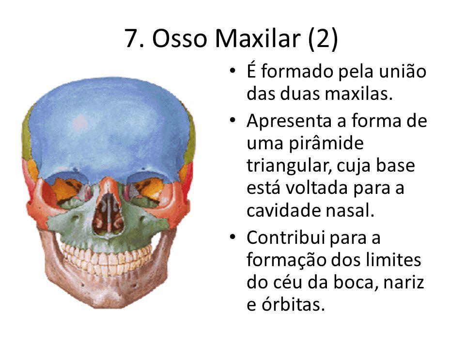 7. Osso Maxilar (2) É formado pela união das duas maxilas.