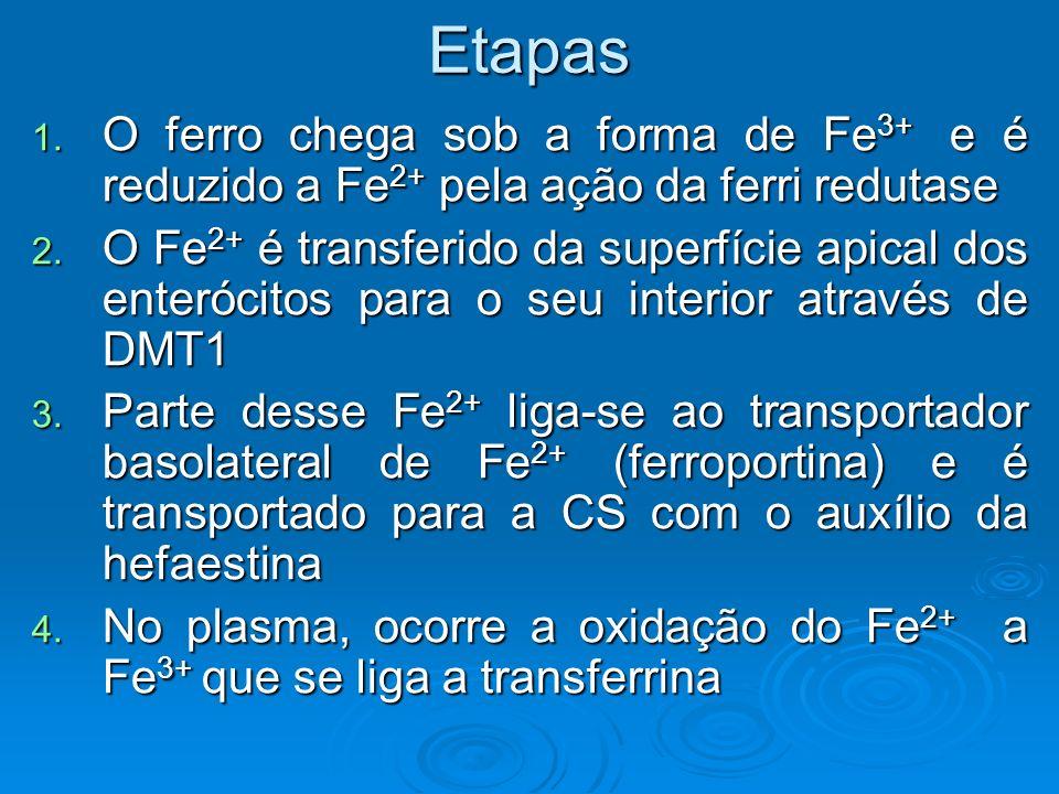 Etapas O ferro chega sob a forma de Fe3+ e é reduzido a Fe2+ pela ação da ferri redutase.
