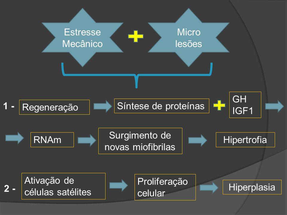 Surgimento de novas miofibrilas