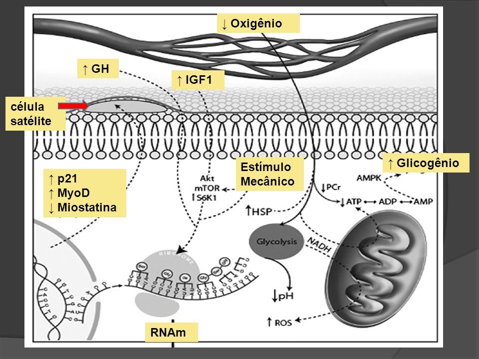Estímulo Mecânico ↑ Glicogênio. ↑ GH. ↑ IGF1. ↑ p21. ↑ MyoD. ↓ Miostatina. ↓ Oxigênio. célula satélite.