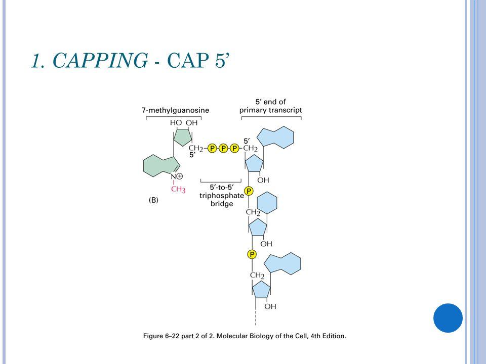 1. CAPPING - CAP 5'