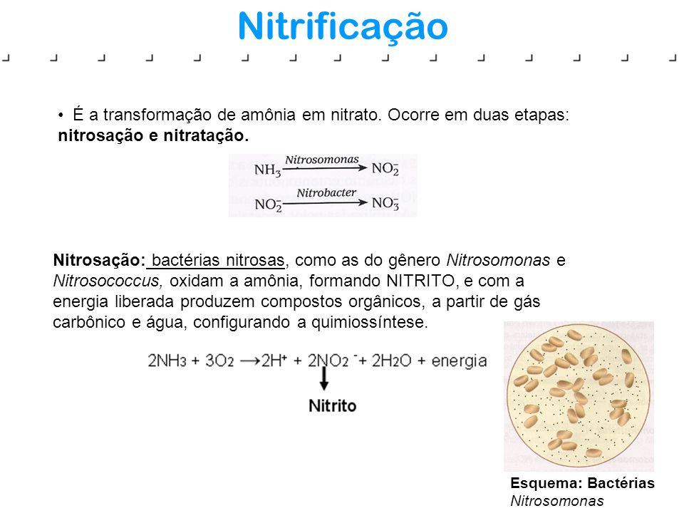 Nitrificação É a transformação de amônia em nitrato. Ocorre em duas etapas: nitrosação e nitratação.
