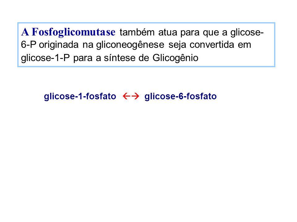 A Fosfoglicomutase também atua para que a glicose-6-P originada na gliconeogênese seja convertida em glicose-1-P para a síntese de Glicogênio