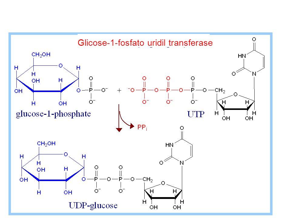 Glicose-1-fosfato uridil transferase