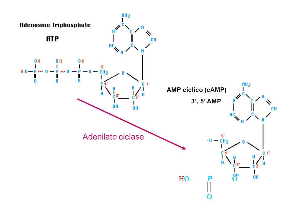 O HO P AMP cíclico (cAMP) 3', 5' AMP Adenilato ciclase