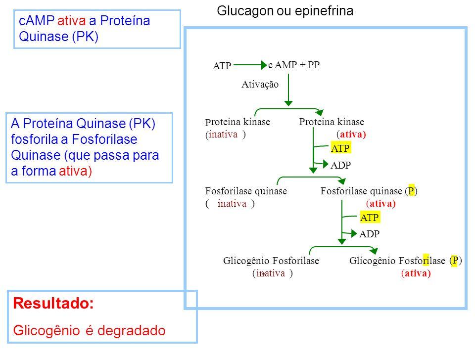 Resultado: Glicogênio é degradado Glucagon ou epinefrina
