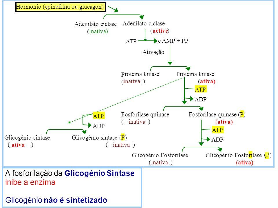 A fosforilação da Glicogênio Sintase inibe a enzima