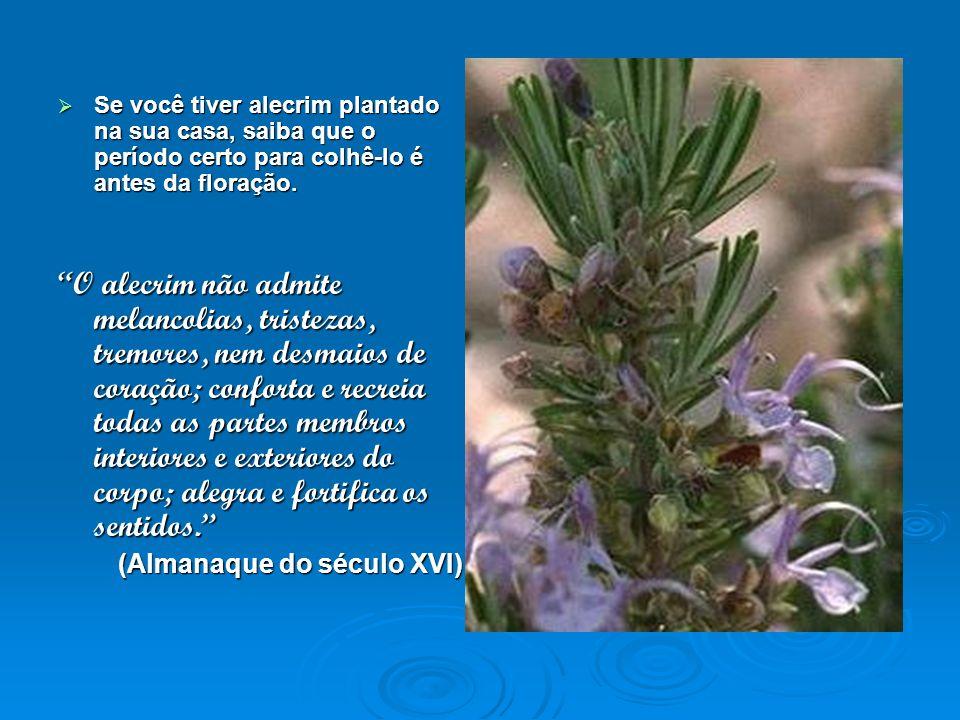 Se você tiver alecrim plantado na sua casa, saiba que o período certo para colhê-lo é antes da floração.
