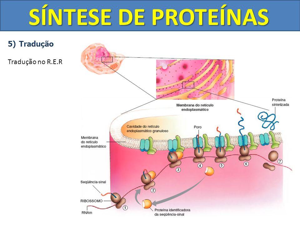 SÍNTESE DE PROTEÍNAS Tradução Tradução no R.E.R