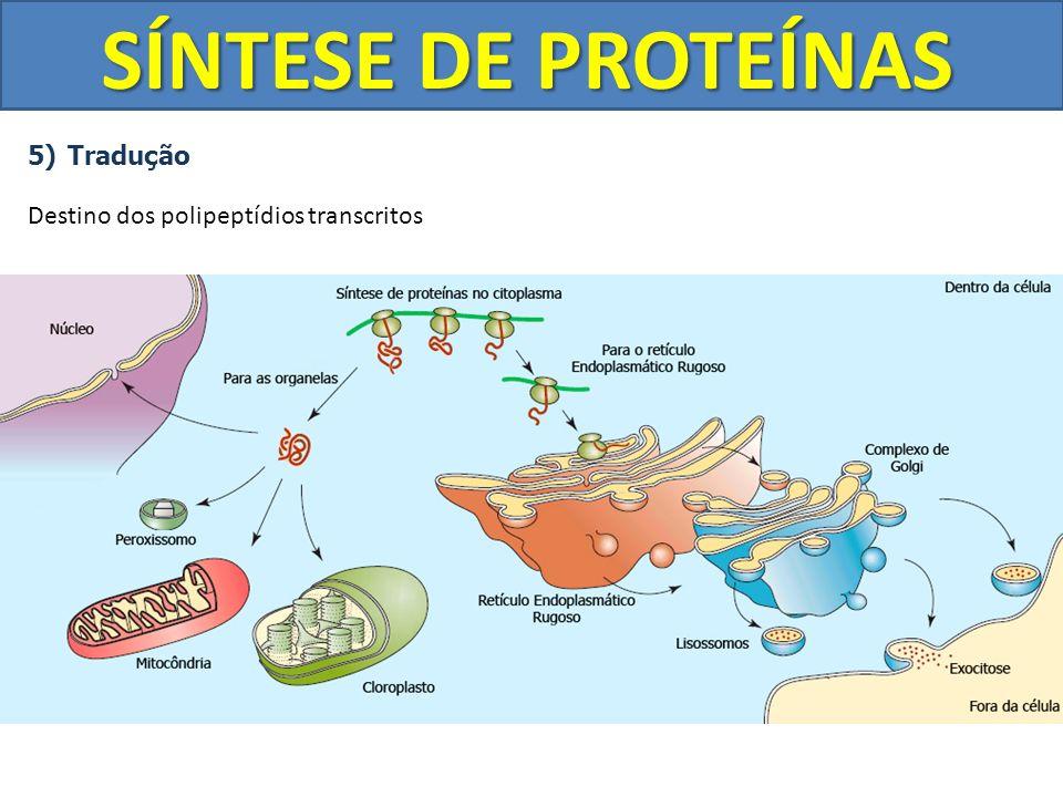 SÍNTESE DE PROTEÍNAS Tradução Destino dos polipeptídios transcritos