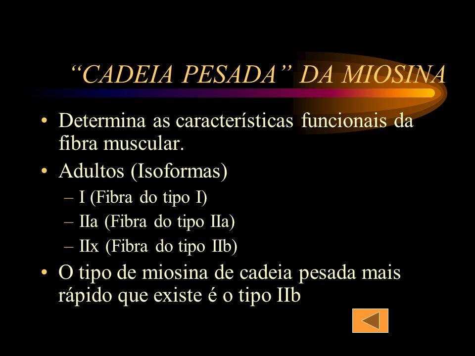 CADEIA PESADA DA MIOSINA