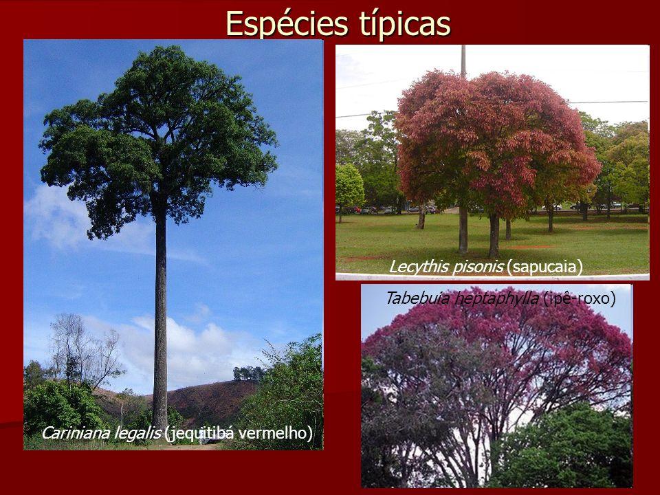 Espécies típicas Lecythis pisonis (sapucaia)