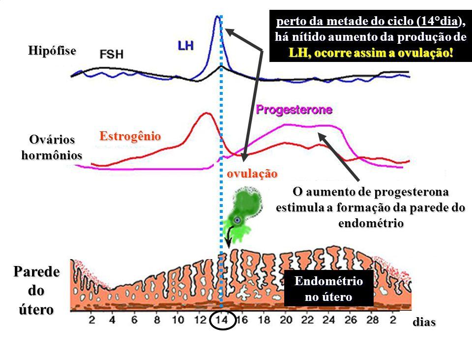 O aumento de progesterona estimula a formação da parede do endométrio