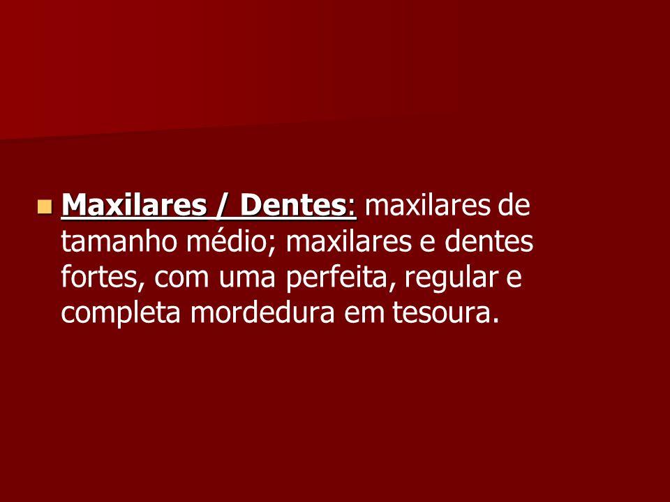Maxilares / Dentes: maxilares de tamanho médio; maxilares e dentes fortes, com uma perfeita, regular e completa mordedura em tesoura.