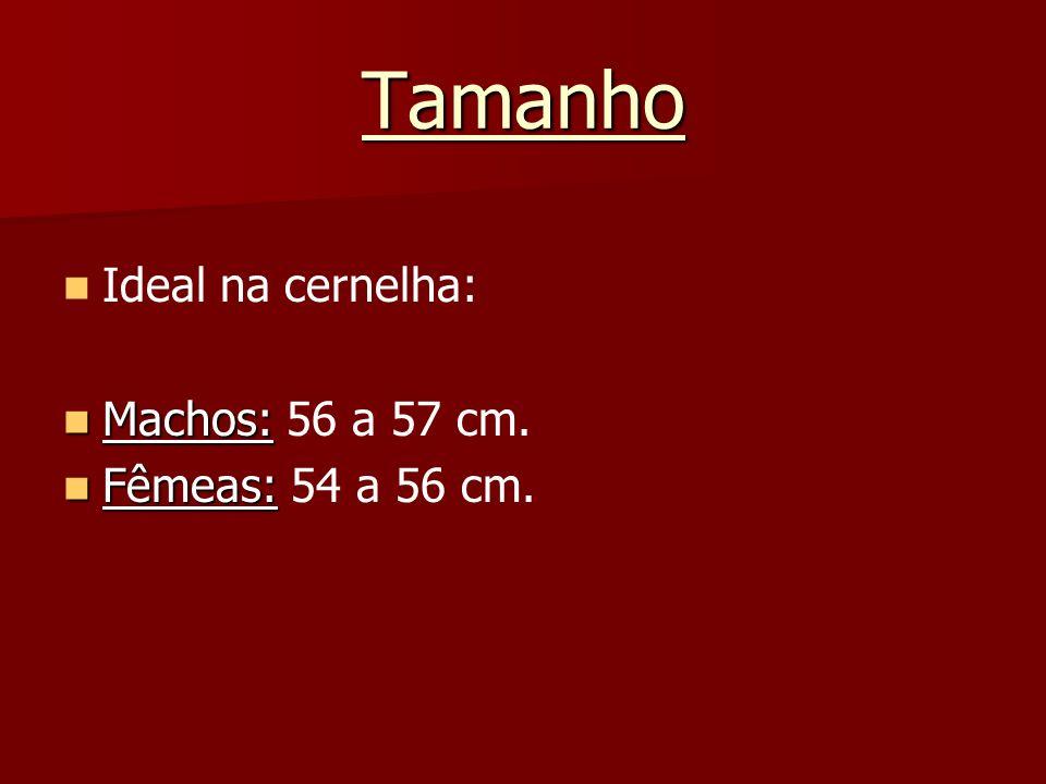 Tamanho Ideal na cernelha: Machos: 56 a 57 cm. Fêmeas: 54 a 56 cm.