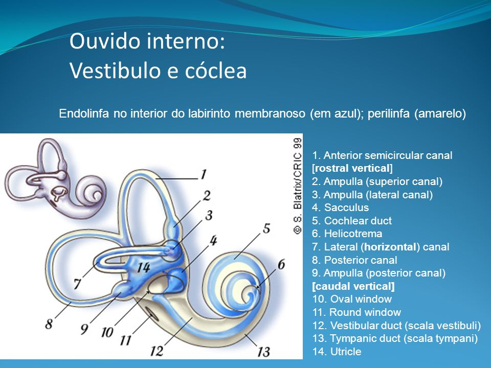 Ouvido interno: Vestibulo e cóclea