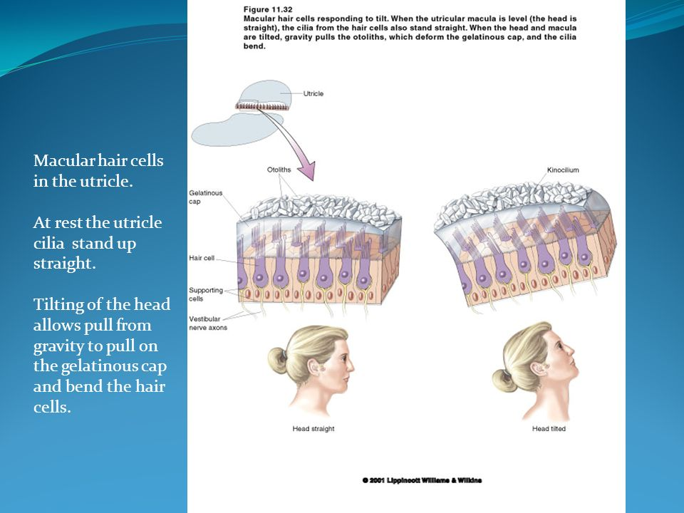 Macular hair cells in the utricle. At rest the utricle. cilia stand up. straight. Tilting of the head.