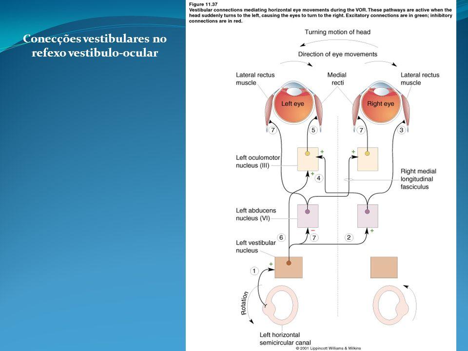 Conecções vestibulares no refexo vestibulo-ocular