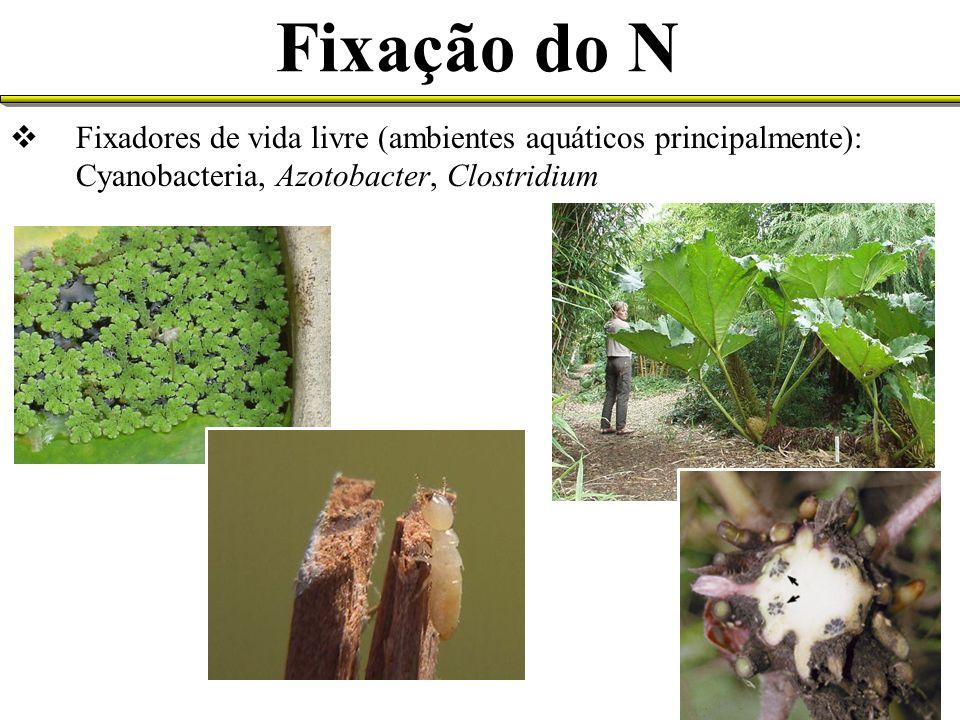 Fixação do N Fixadores de vida livre (ambientes aquáticos principalmente): Cyanobacteria, Azotobacter, Clostridium.