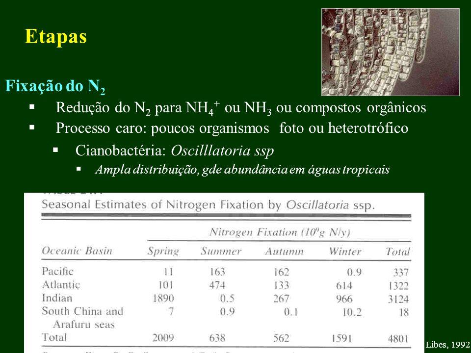 Etapas Fixação do N2. Redução do N2 para NH4+ ou NH3 ou compostos orgânicos. Processo caro: poucos organismos foto ou heterotrófico.