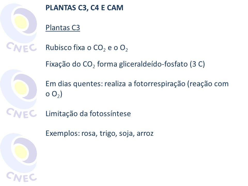 PLANTAS C3, C4 E CAM Plantas C3. Rubisco fixa o CO2 e o O2. Fixação do CO2 forma gliceraldeído-fosfato (3 C)