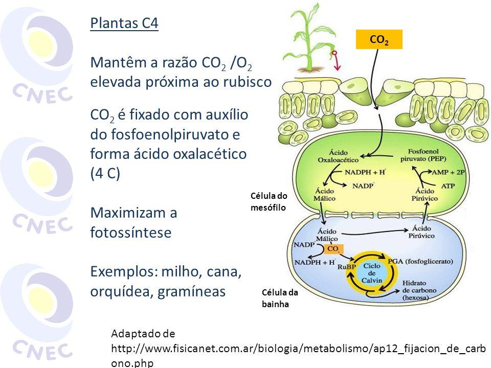 elevada próxima ao rubisco CO2 é fixado com auxílio