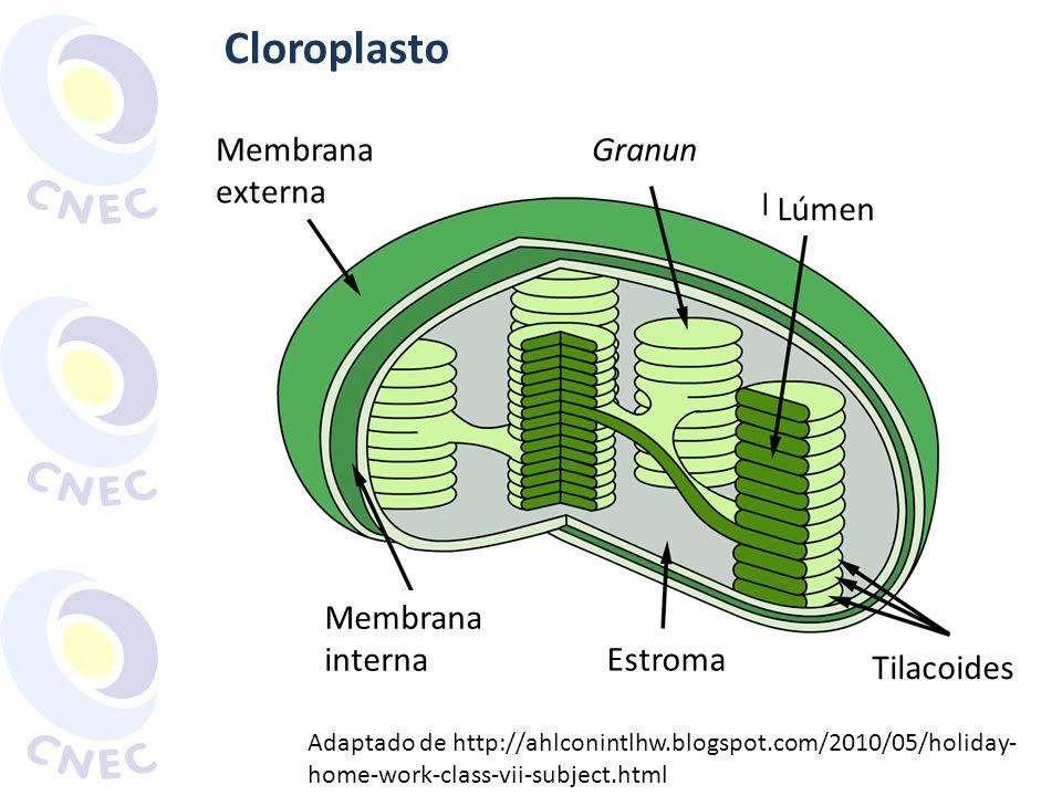 Cloroplasto Membrana externa Granun Lúmen Membrana interna Estroma