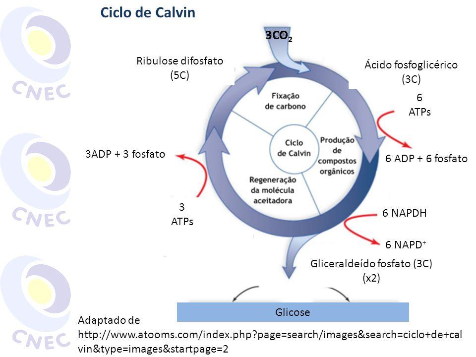 Ciclo de Calvin 3CO2 Ribulose difosfato Ácido fosfoglicérico (3C) (5C)