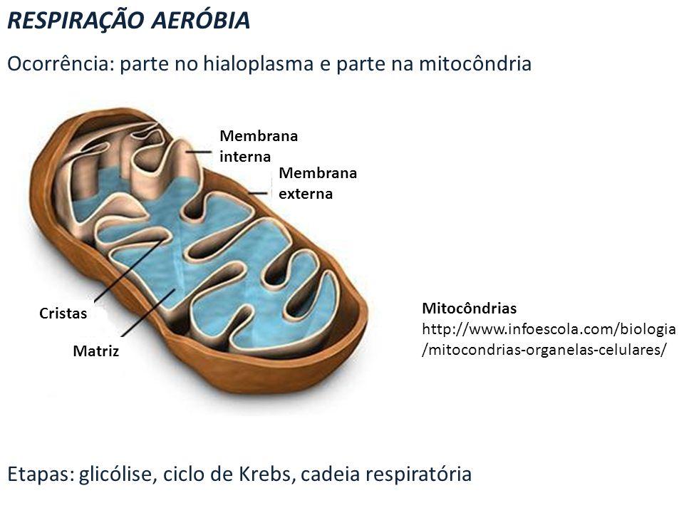 RESPIRAÇÃO AERÓBIA Ocorrência: parte no hialoplasma e parte na mitocôndria. Etapas: glicólise, ciclo de Krebs, cadeia respiratória.