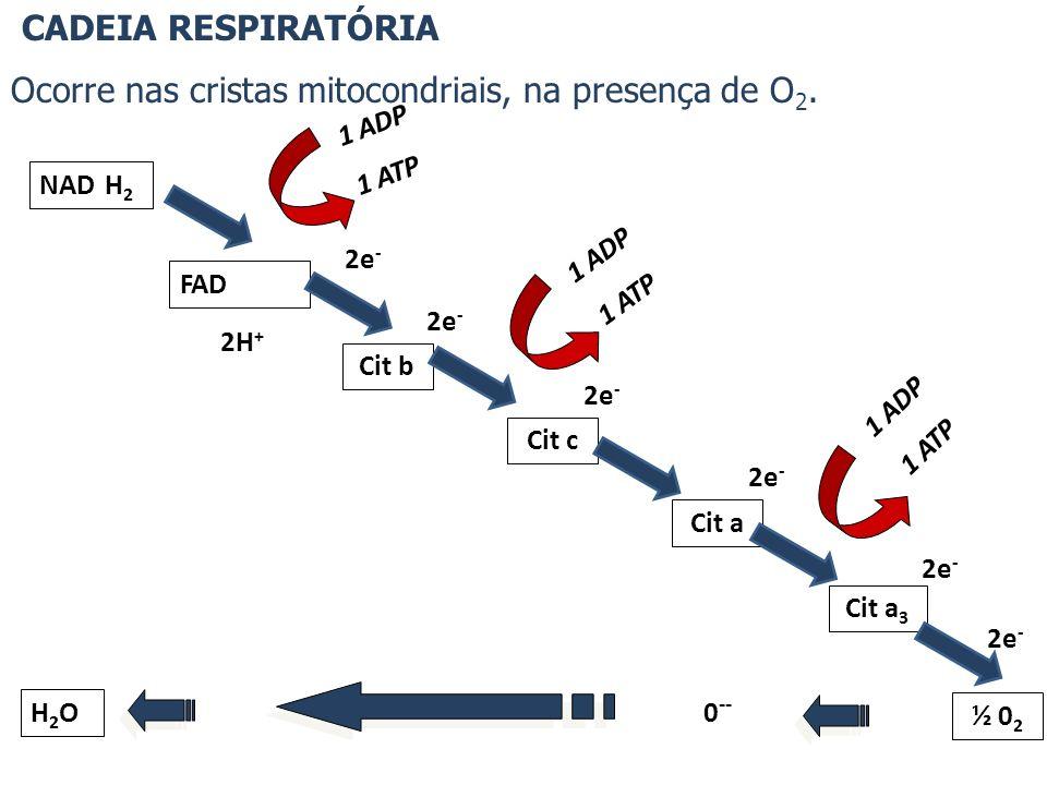 Ocorre nas cristas mitocondriais, na presença de O2.