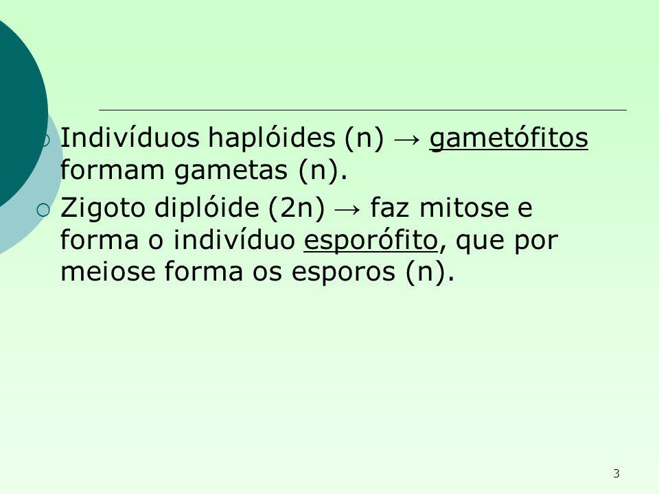 Indivíduos haplóides (n) → gametófitos formam gametas (n).