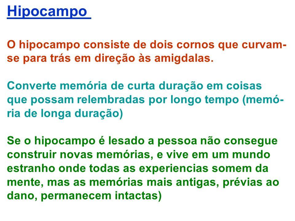 Hipocampo O hipocampo consiste de dois cornos que curvam-