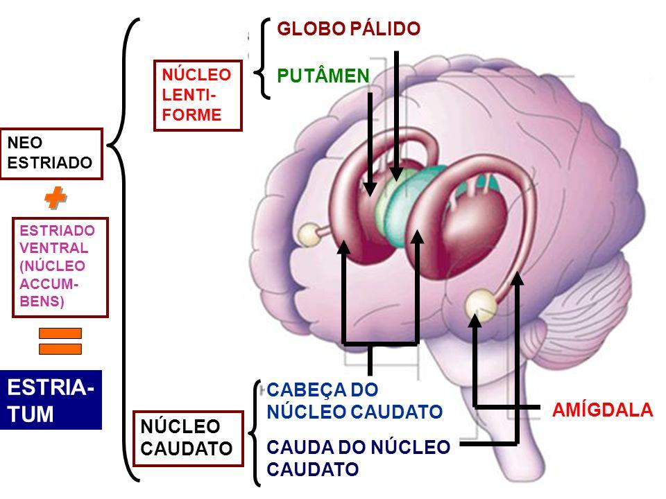 + = ESTRIA- TUM GLOBO PÁLIDO PUTÂMEN CABEÇA DO NÚCLEO CAUDATO AMÍGDALA
