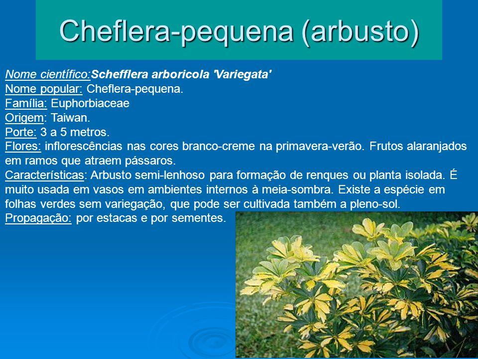 Cheflera-pequena (arbusto)