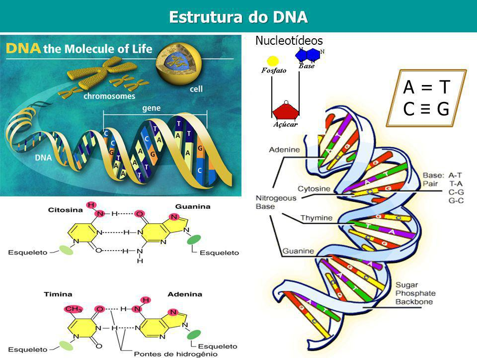 Estrutura do DNA Nucleotídeos A = T C ≡ G