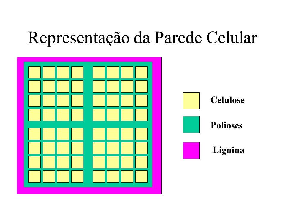 Representação da Parede Celular