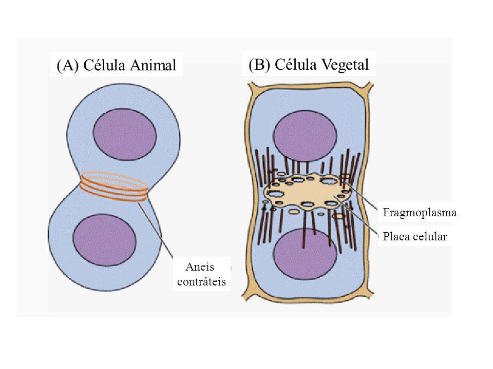 (A) Célula Animal (B) Célula Vegetal Fragmoplasma Placa celular Aneis