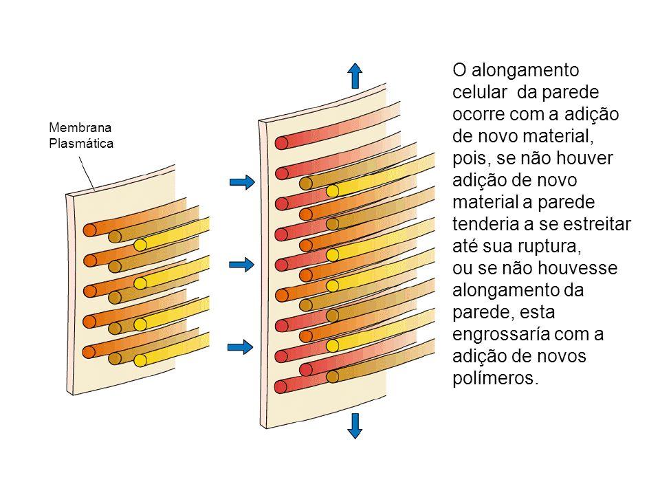 O alongamento celular da parede ocorre com a adição de novo material, pois, se não houver adição de novo material a parede tenderia a se estreitar até sua ruptura,
