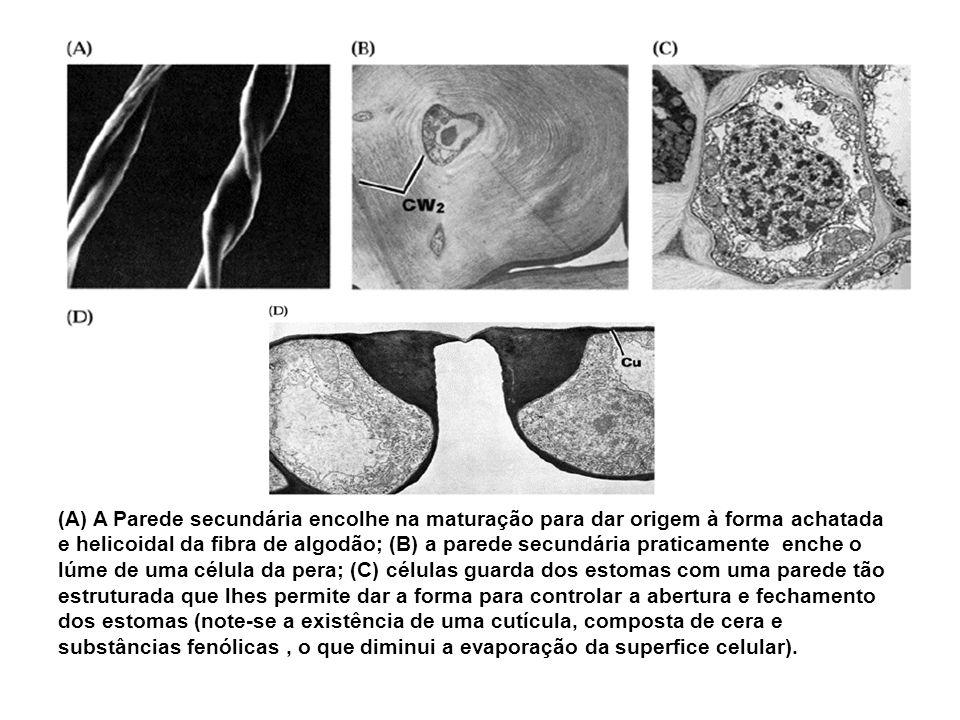 (A) A Parede secundária encolhe na maturação para dar origem à forma achatada e helicoidal da fibra de algodão; (B) a parede secundária praticamente enche o lúme de uma célula da pera; (C) células guarda dos estomas com uma parede tão estruturada que lhes permite dar a forma para controlar a abertura e fechamento dos estomas (note-se a existência de uma cutícula, composta de cera e substâncias fenólicas , o que diminui a evaporação da superfice celular).