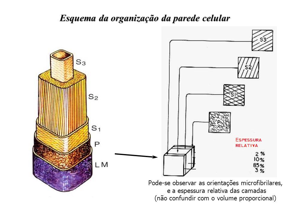 Esquema da organização da parede celular