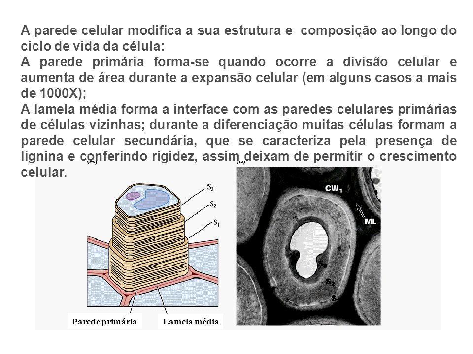 A parede celular modifica a sua estrutura e composição ao longo do ciclo de vida da célula: