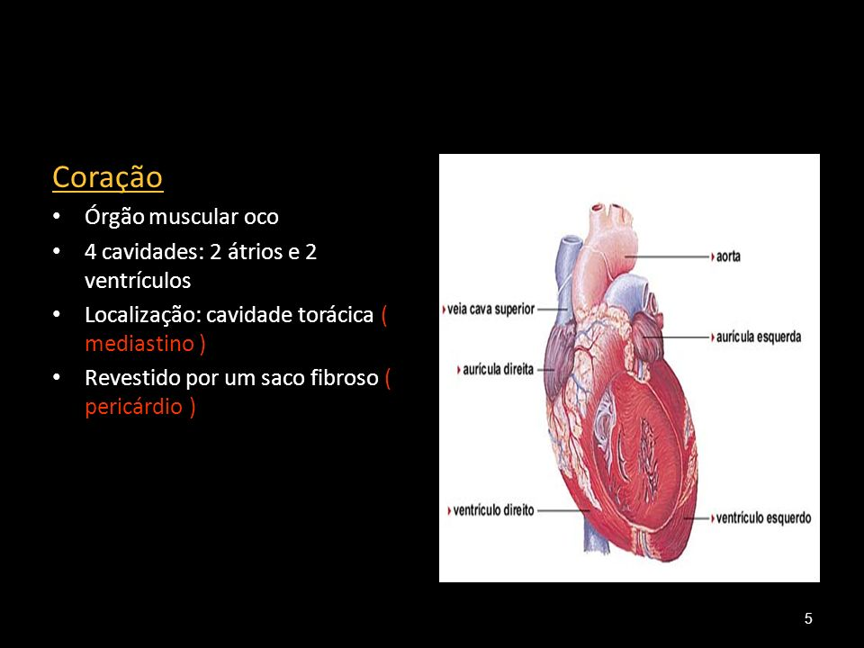 Coração Órgão muscular oco 4 cavidades: 2 átrios e 2 ventrículos