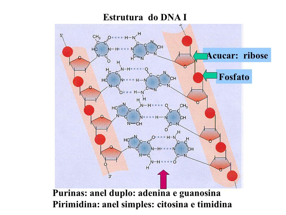 Estrutura do DNA I Acucar: ribose. Fosfato. Purinas: anel duplo: adenina e guanosina.