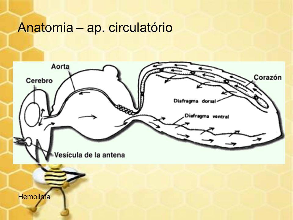 Anatomia – ap. circulatório